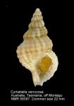 Cymatiella verrucosa