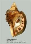Cymatium tigrinum