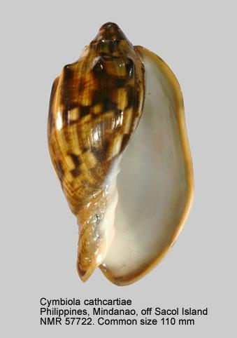 Cymbiola cathcartiae