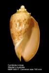 Cymbiola (Cymbiola) irvinae