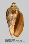Cymbiola (Cymbiola) nivosa
