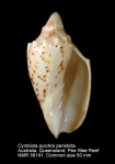 Cymbiola (Cymbiolacca) pulchra peristicta