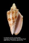Cymbiola (Cymbiolacca) pulchra woolacottae