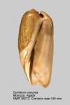 Cymbium cucumis