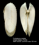 Cyrtopleura costata