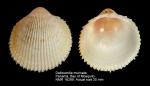 Dallocardia muricata