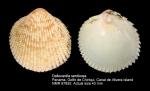 Dallocardia senticosa