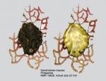 Dendostrea rosacea