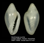 Dentimargo pumila