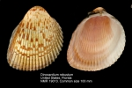 Dinocardium robustum