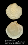 Dosinia biscocta