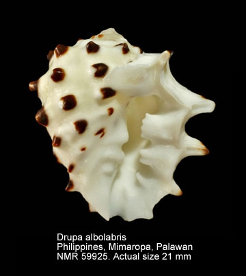 Drupa albolabris
