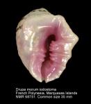 Drupa morum iodostoma