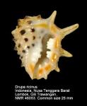 Drupa ricinus