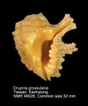 Drupina grossularia