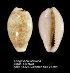 Eclogavena luchuana