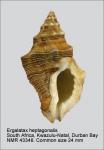 Ergalatax heptagonalis