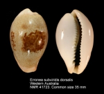 Erronea subviridis dorsalis