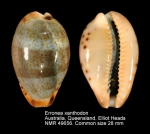 Erronea xanthodon