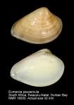 Eumarcia paupercula