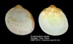 Europicardium caparti