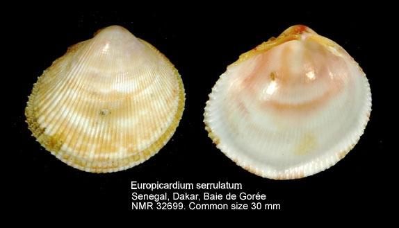 Europicardium serrulatum