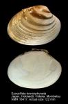 Ezocallista brevisiphonata