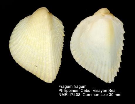 Fragum fragum