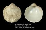Frigidocardium sancticaroli