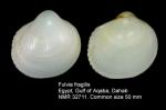 Fulvia fragilis