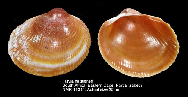 Fulvia natalensis
