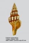 Fusinus syracusanus