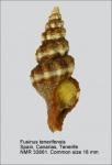 Fusinus tenerifensis