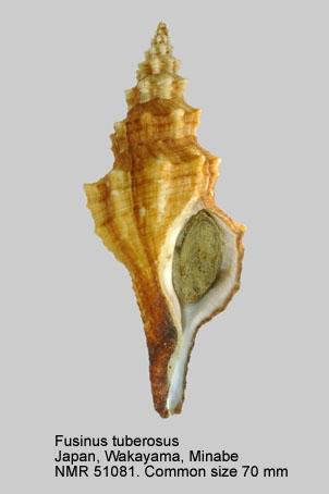 Fusinus tuberosus