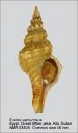 Fusinus verrucosus