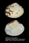 Gafrarium divaricatum