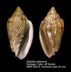 Glabella adansoni