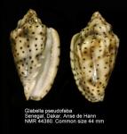 Glabella pseudofaba