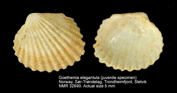 Goethemia elegantula