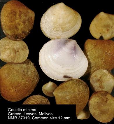 Gouldia minima