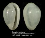 Granulina guancha