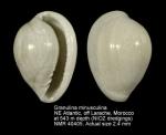 Granulina minusculina