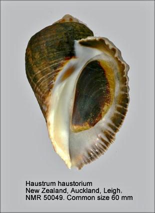 Haustrum haustorium