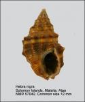 Hebra nigra