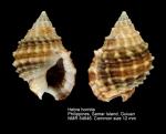 Nassariidae