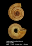 Heliacus infundibuliformis
