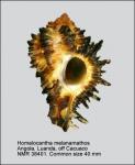 Homalocantha melanamathos