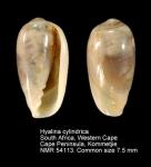 Hyalina cylindrica