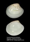 Hyphantosoma pollicaris