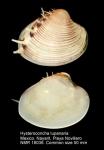 Hysteroconcha lupanaria
